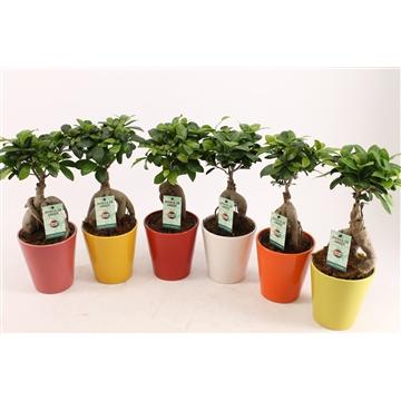 Ficus Ginseng gekleurd keramiek
