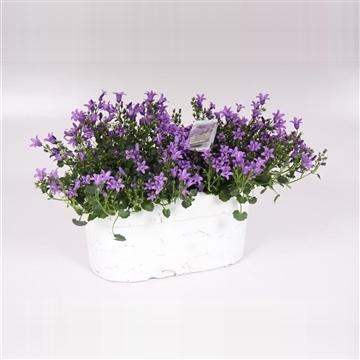 Campanula Ambella@purple bloembak