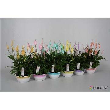 Spathiphyllum 17 cm schaal 'Chopin®' Ultimo Colorz®, gekleurde rand