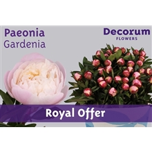 Paeonia Gardenia (Royal Offer)
