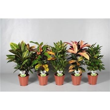 Croton vertakt gemengd 2-3 soorten (RUSSIA)