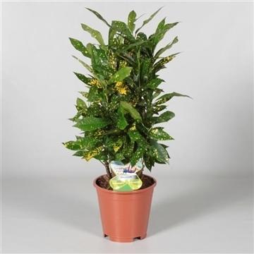 Croton Gold Dust vertakt(Decorum)