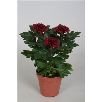 Chrysanthemum Chrysanne® 'Nova Zembla' red