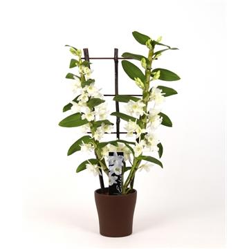 Dendrobium Nobile Starclass Apollon 2 tak in Anna (bruin) met rekje (bruin)