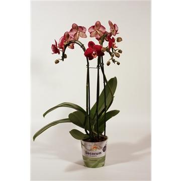 Phalaenopsis umbrella Red Pioneer 3 tak (Decorum)