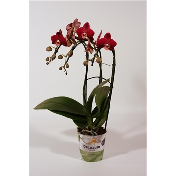 Phalaenopsis triple cascade Red Pioneer 3 tak (Decorum)
