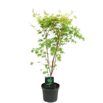 Acer palmatum 'Sangokaku' P26