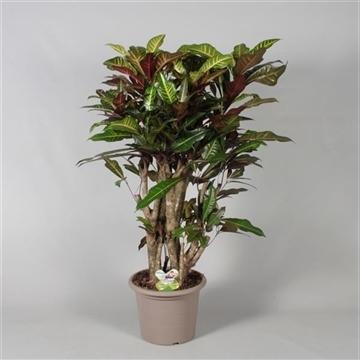 Croton Excellent vertakt in deco pot (Decorum)