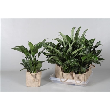 Collectie Aviva - Aglaonema gemengd in Jute tas (Decorum)