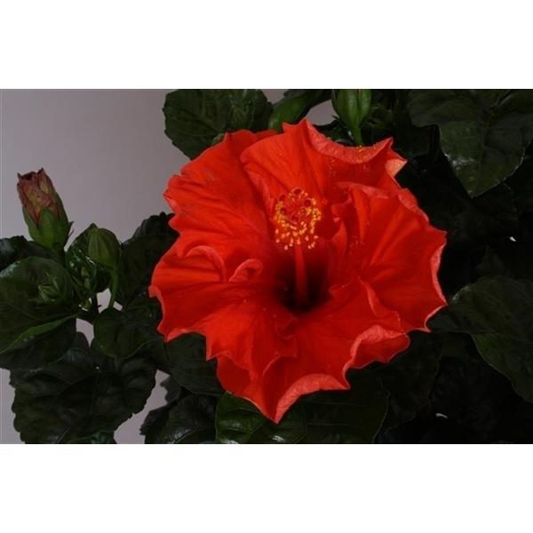 hibiscus fiori grande 39 marseille 39 302106 floraxchange