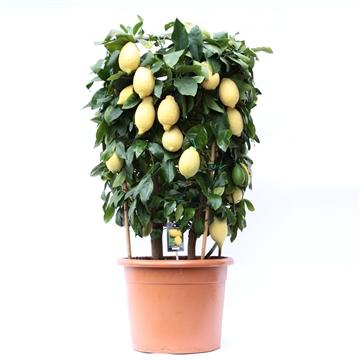 Lemon Cilinder