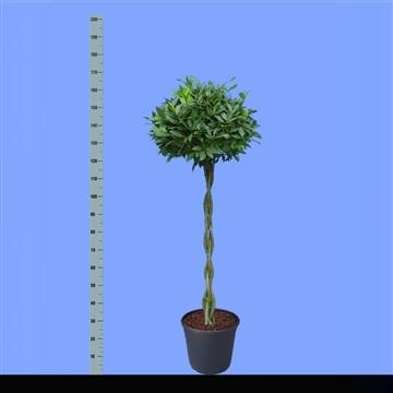 Laurus nobilis Gevlochten stam