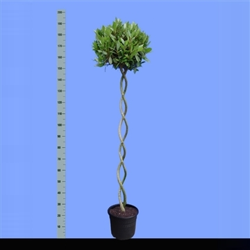 Laurus nobilis Helix stam.