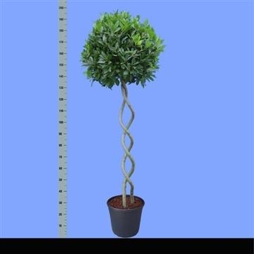 Laurus nobilis Helix stam