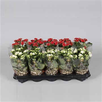 Kalanchoe bloss. gevuld Red&White mix in Kersthoes