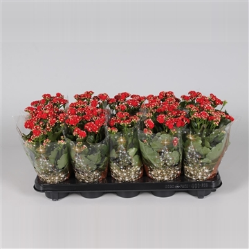 Kalanchoe bloss. gevuld Calandiva Red in Kersthoes
