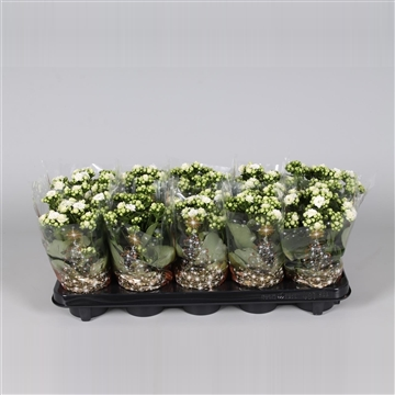 Kalanchoe bloss. gevuld Calandiva White in Kersthoes
