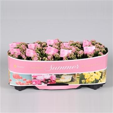 Kalanchoe bloss. gevuld Calandiva Pink met SUMMER kraag