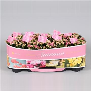 Kalanchoe bloss. gevuld Calandiva Dark Pink met SUMMER kraag