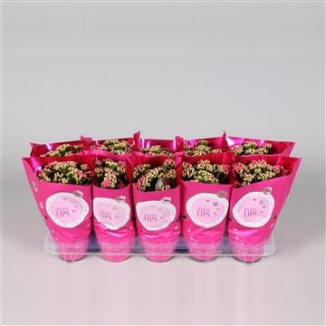 MoreLIPS® Kalanchoe bloss. gevuld Calandiva Dark Pink in Metallic Hoes