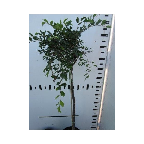 Chinesische Ulme Geisha TERRAPflanzenhandel