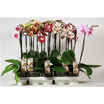 Phalaenopsis 2 tak special duomix