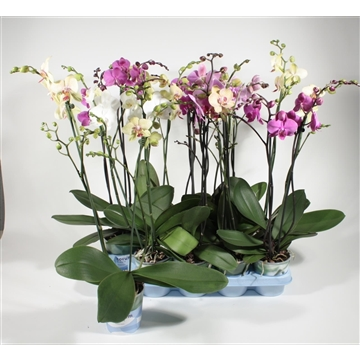 Phalaenopsis 2 tak vertakt mix (Decorum)