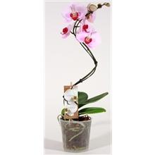 Phalaenopsis curvy Cyrene 1 tak