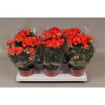 Begonia reina oranje