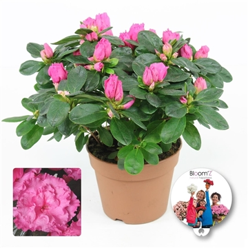 Azalea Bloom'Z, roze, P12, medium, 20-25 cm