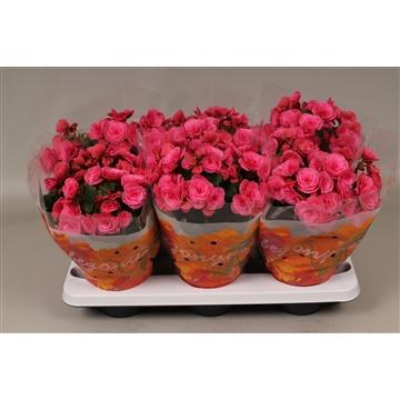 Begonia  ''berseba''  paars