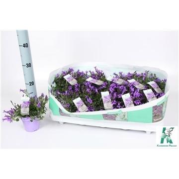 Campanula Ambella®Purple lila pot