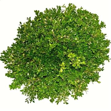 Buxus microphylla Herrenhausen 30-40cm bodembedekker
