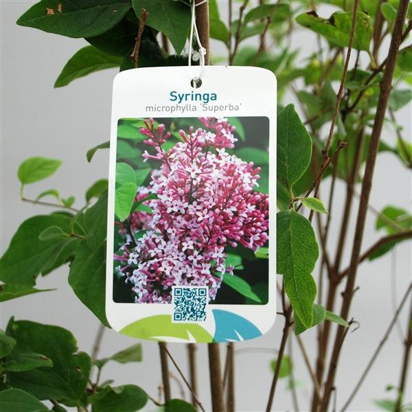 syringa microphylla 39 superba 39 100 125 c7 symsuper100 p floraxchange. Black Bedroom Furniture Sets. Home Design Ideas