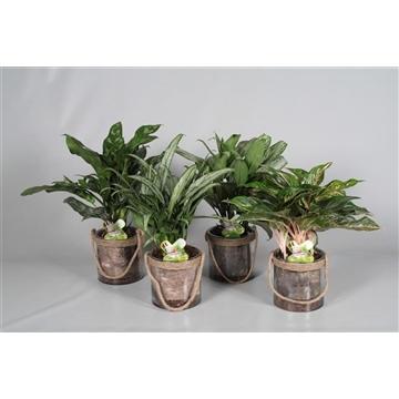 Aglaonema gemengd in Anais pot (Decorum)