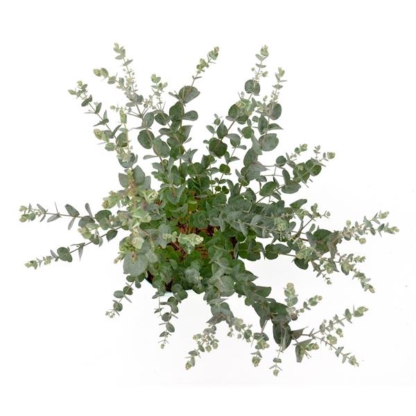 eucalyptus gunnii 39 azura 39 eucalyptus c2 floraxchange. Black Bedroom Furniture Sets. Home Design Ideas