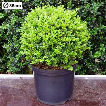 Buxus microphylla 'Faulkner' 35cm bol