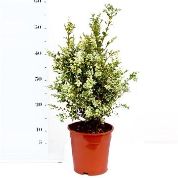 Buxus sempervirens 'Elegans' 30-40cm struik