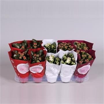 MoreLIPS® Kalanchoe bloss. gevuld mix met glitters (Kerst) in Metallic Hoes