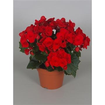 Begonia baladin  rood