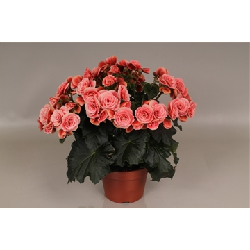 Begonia  borias rose-gevlamd