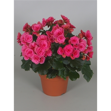 Begonia berseba paars