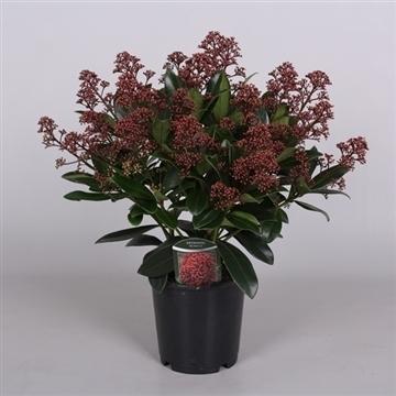 Rubella p15 20+ bloem