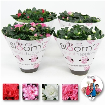 Azalea Bloom'Z koker: 20-25 cm Bee happy