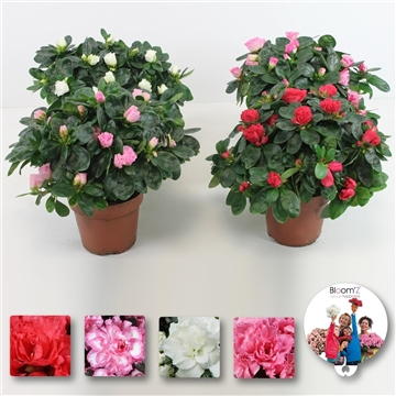 Azalea Bloom'Z, mix, P12, medium, 20-25 cm