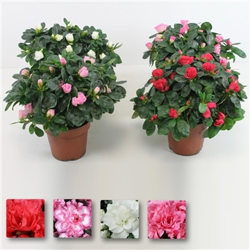 Azalea bloei, mix, P12, medium, 20-25 cm