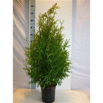 Thuja occidentalis 'Brabant', plantmaat 80-100