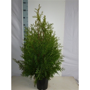 Thuja occidentalis 'Brabant', plantmaat 60-80