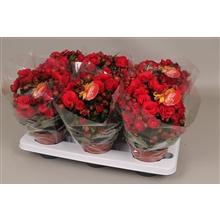 Begonia 'grace'' rood