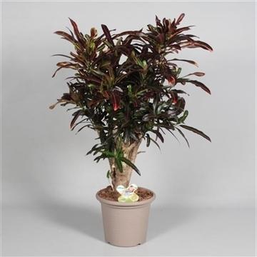 Croton Red Banana vertakt in deco pot (RUSSIA)